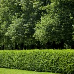 Shrubs and Vines
