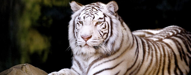White Tiger at Fort Worth Zoo